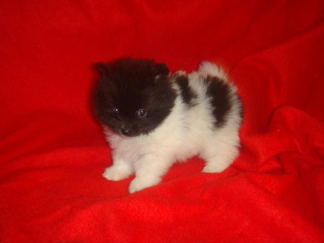 Toy Pomeranian 15