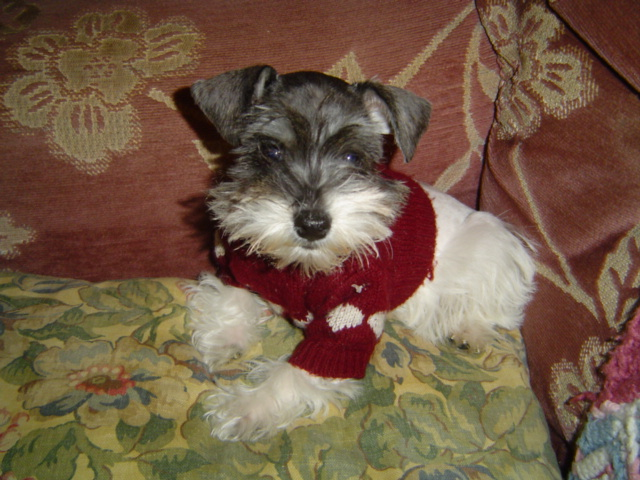 Toy Schnauzers Toy Schnauzers For Sale Toy Schnauzer Sales Toy ...